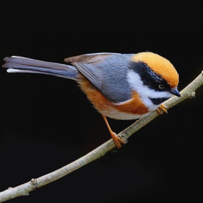 22 immagini dedicate al bellissimo uccellino Codibugnolo Golanera