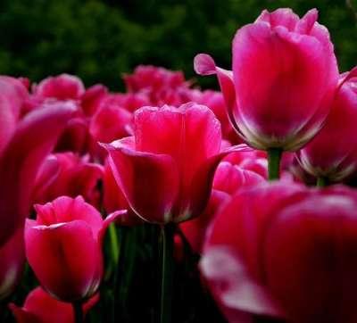 26 fotografie di tulipani