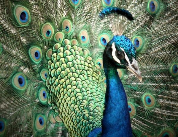 30 bellissime immagini di stupendi pavoni