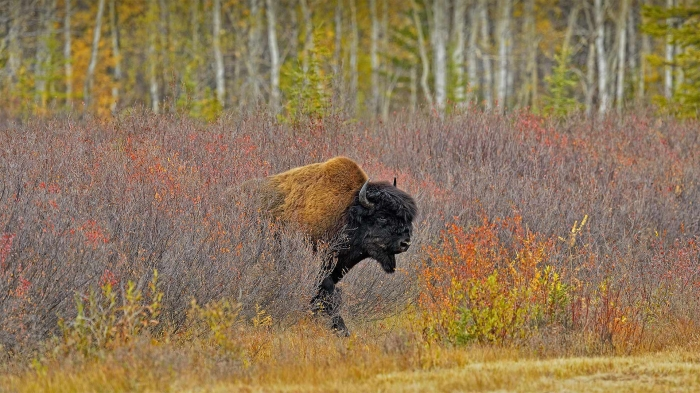 A wood bison