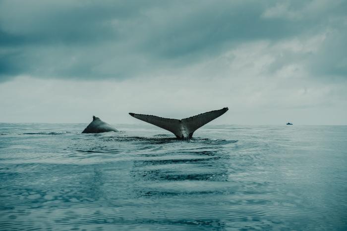 Balena nel blu oceano