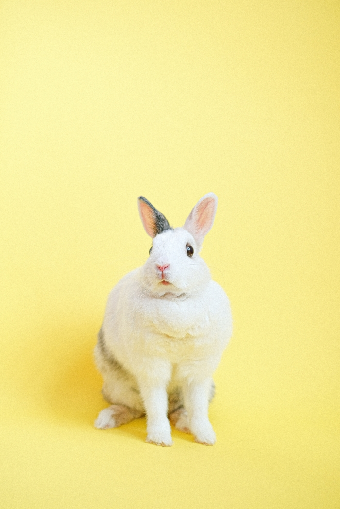 Coniglio Bianco in Giallo