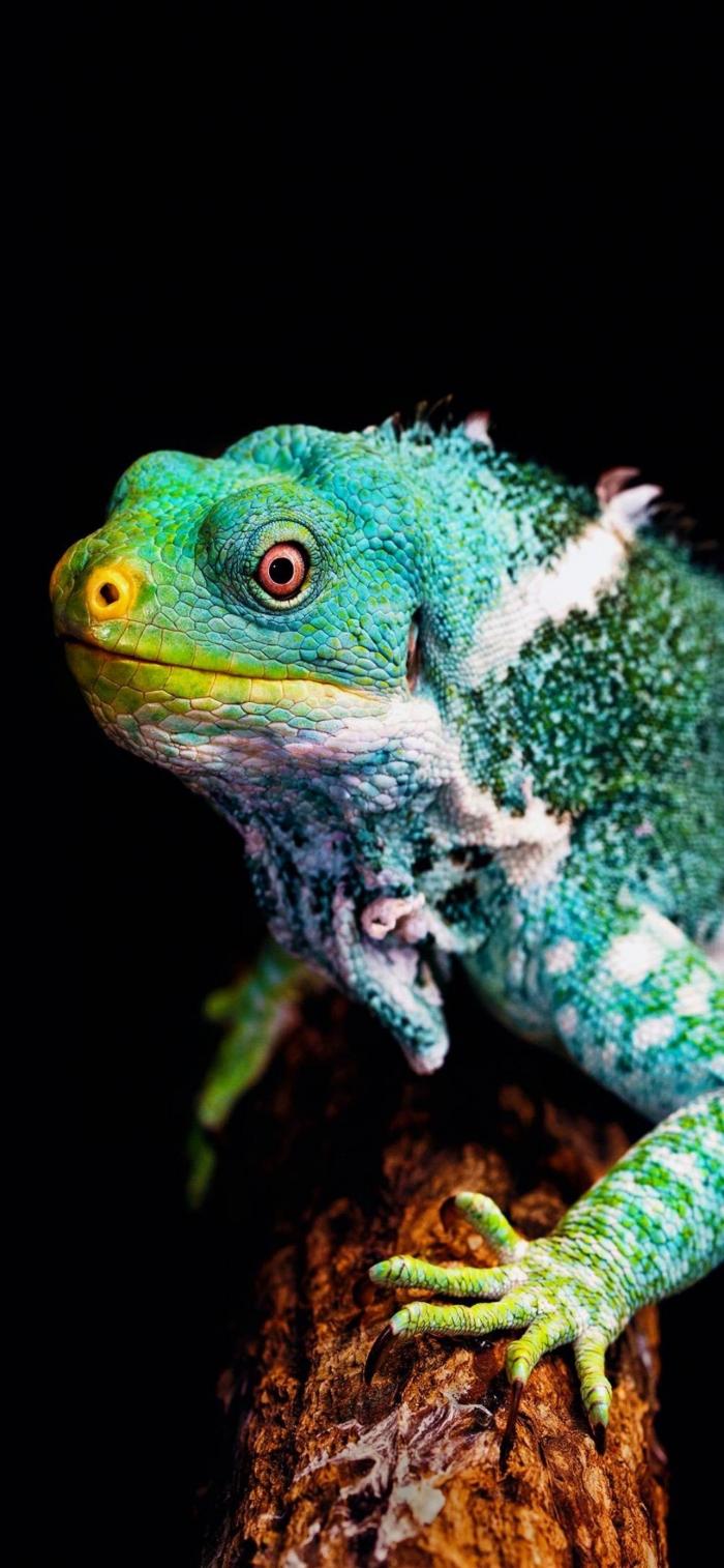 Iguana multicolore
