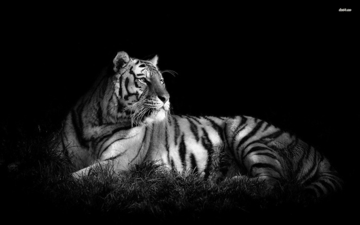 Maestosa Tigre Bianca