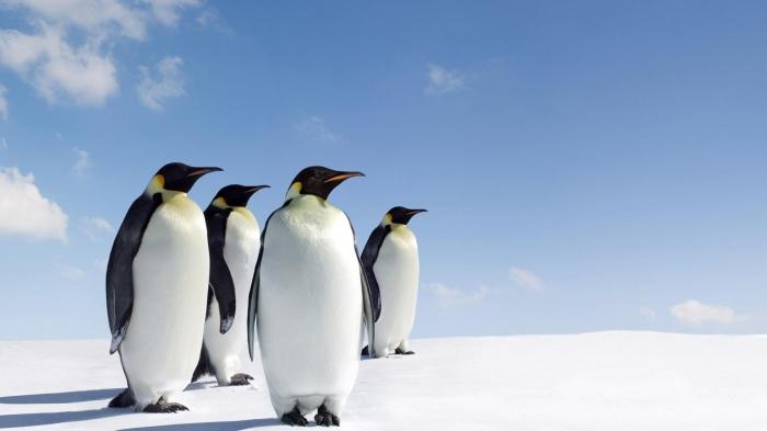 Pinguini in HD