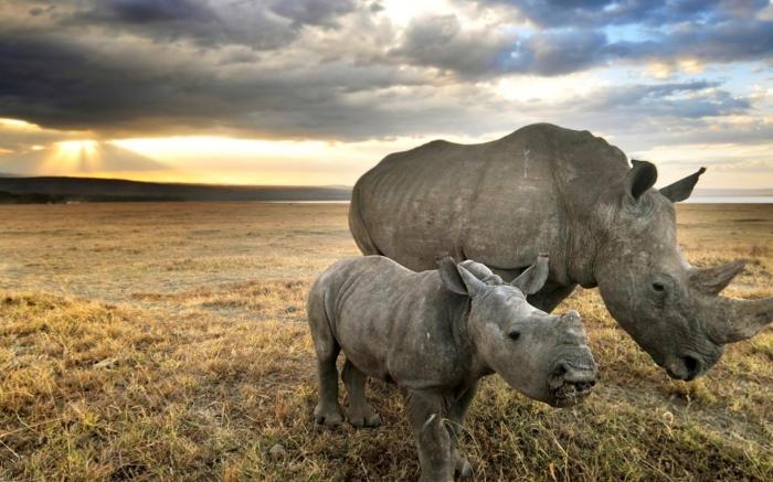 Rinoceronte con il piccolo
