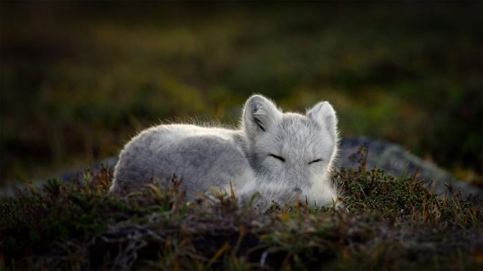 Sleeping Artic Fox