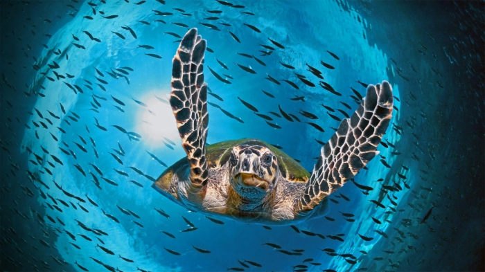 Tartaruga nel Queensland