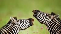 Burchell zebra stallions